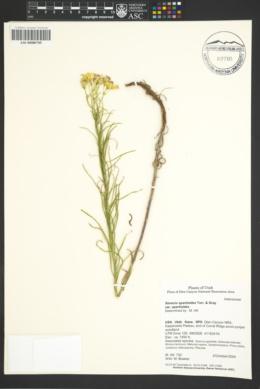 Senecio spartioides var. spartioides image