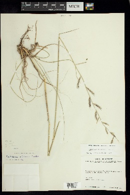 Image of Bouteloua williamsii