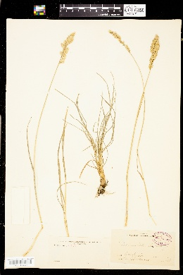 Image of Poa unilateralis