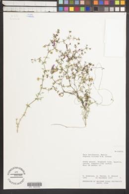 Image of Fagonia villosa