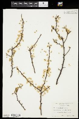Image of Prunus munsoniana