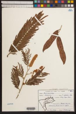 Acacia macrostachya image