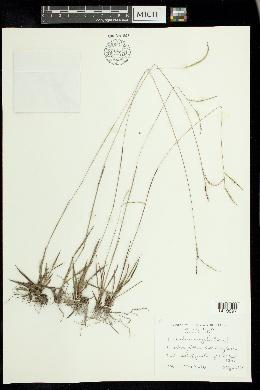 Image of Paspalum saugetii