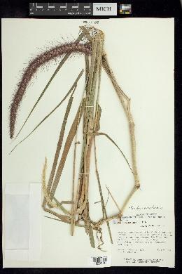 Image of Cenchrus polystachios