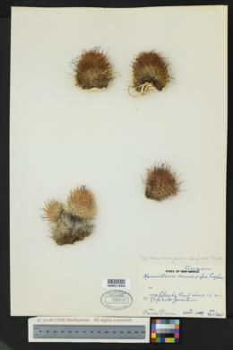 Mammillaria grahamii var. grahamii image
