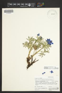 Image of Delphinium brachycentrum