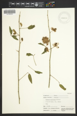 Galactia multiflora image