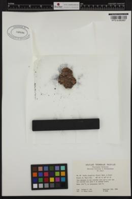 Ralfsia fungiformis image
