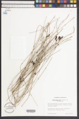 Leptocarpus tenax image