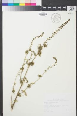 Image of Ambrosia acanthicarpa
