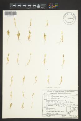 Myosurus cupulatus image