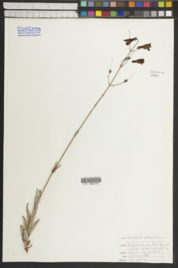 Penstemon nudiflorus image