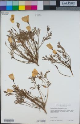 Eschscholzia lemmonii image