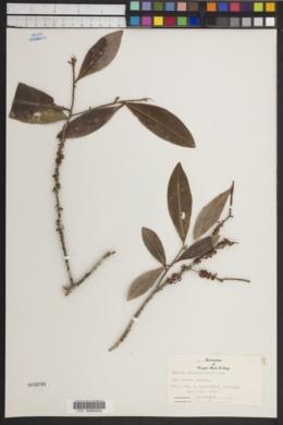 Image of Rapanea porosa