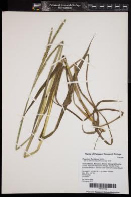 Image of Paspalum floridanum