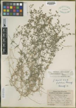 Image of Galium argense