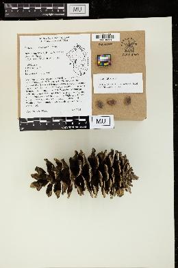 Image of Pinus armandii