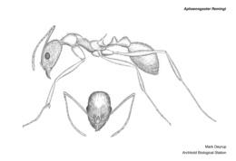 Image of Aphaenogaster flemingi