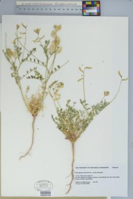 Astragalus preussii image
