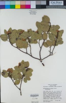 Arctostaphylos patula image