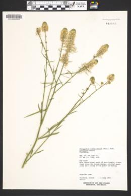 Thelypodium integrifolium subsp. gracilipes image