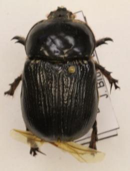 Xyloryctes jamaicensis image