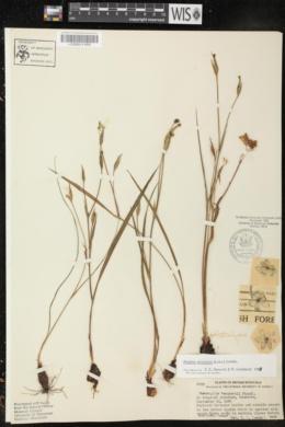 Alophia silvestris image