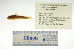 Noturus miurus image