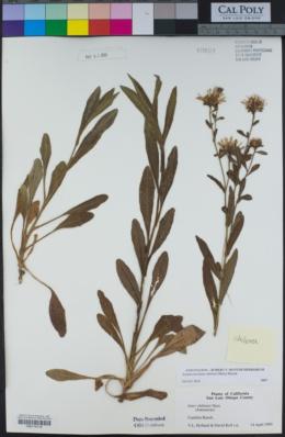Symphyotrichum chilense image