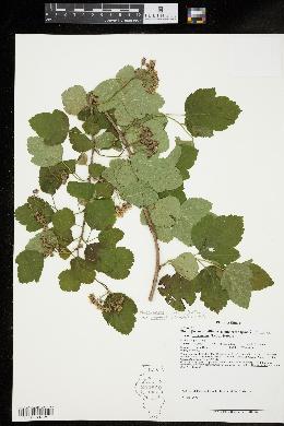 Physocarpus opulifolius var. intermedius image