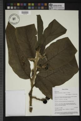 Image of Solanum kioniotrichum