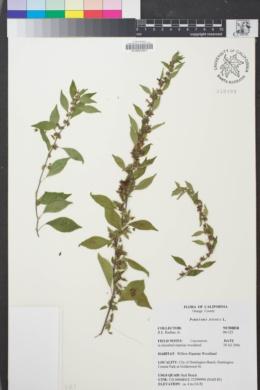Image of Parietaria judaica