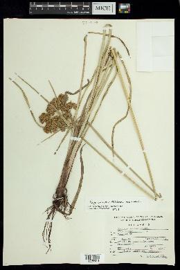 Image of Cyperus virens