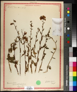 Clarkia unguiculata image