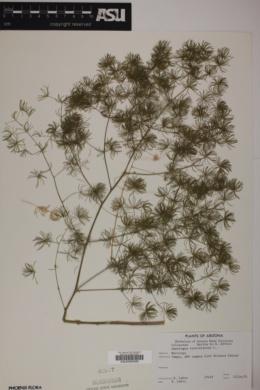 Image of Asparagus retrofractus