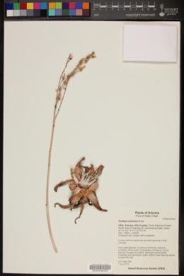 Dudleya saxosa subsp. collomiae image
