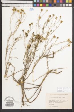 Dysodiopsis tagetoides image