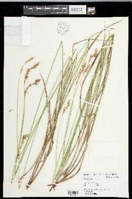 Carex foenea image