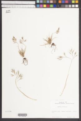 Image of Festuca australis