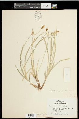 Carex nervina image