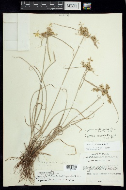 Image of Cyperus calderoniae