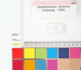 Hypothenemus obscurus image