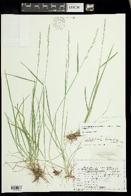 Image of X festulolium holmbergii