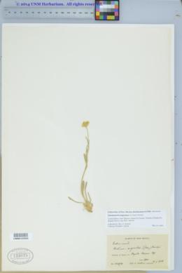 Tetraneuris argentea image