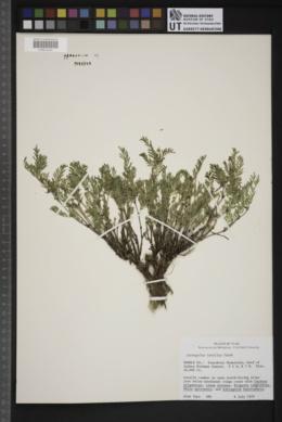 Astragalus tenellus image