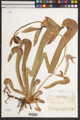 Darlingtonia californica image