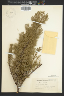 Image of Cupressus nevadensis
