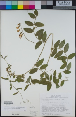 Lathyrus vestitus image
