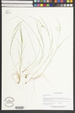 Image of Agrostis flaccida
