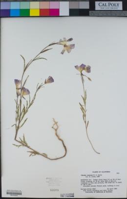 Clarkia rostrata image